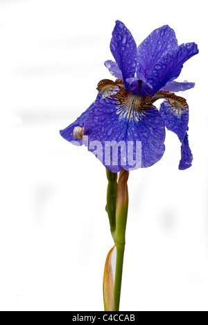 Close up of a blue water Iris (Iris sibirica) petal and water droplets. A pond marginal or bog garden plant. - Stock Photo