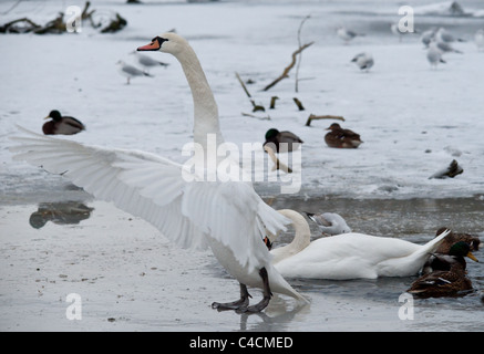 Horizontal shot of a mute swan with wings out stretched standing on ice. - Stock Photo