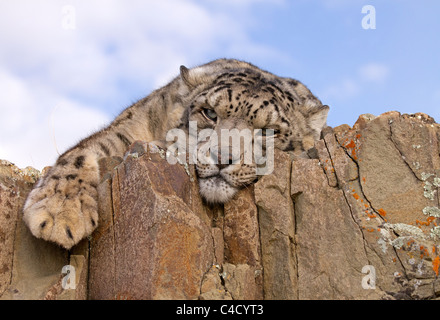 Snow Leopard, Panthera uncia relaxing on the rocks - Stock Photo