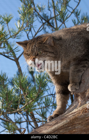 Scottish wildcat (Felis silvestris) in pine tree snarling - Stock Photo