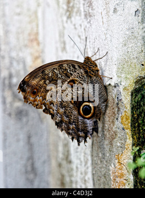 A Forest Giant Owl butterfly (Caligo eurilochus) perching on a wall. Butterfly house, Leipzig, Germany. - Stock Photo