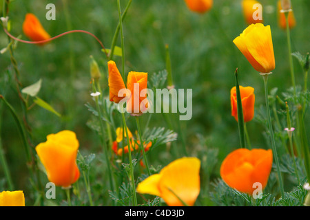 Yellow and orange poppy flowers growing idyllically in a meadow of the botanical garden in Leipzig, Germany - Stock Photo