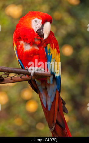 Central American scarlet macaw parrot (ara macao cyanoptera) at the Casa Santo Domingo in Antigua - Stock Photo