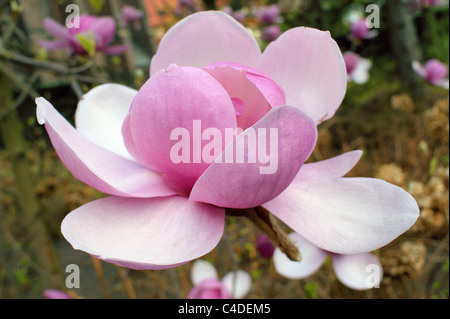 Pink magnolia flower close up Magnolia grandiflora - Stock Photo