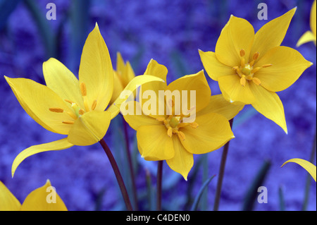 Wild yellow tulip Tulipa sylvestris flowers close up - Stock Photo
