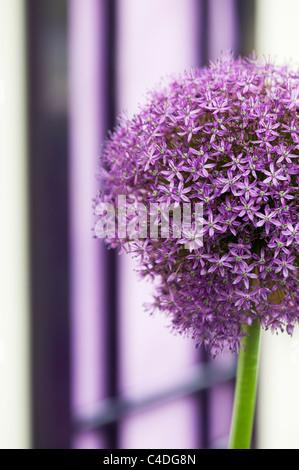 Allium ambassador flower in front of a purple door. Ornamental Onion - Stock Photo