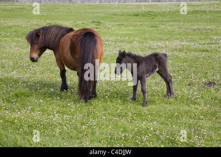 Shetland Islands Scotland Mare in a field covered in daisies with young foal - Stock Photo