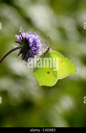 Common Brimstone Butterfly, Gonepteryx rhamni, Pieridae. On Devil's-bit Scabious. - Stock Photo