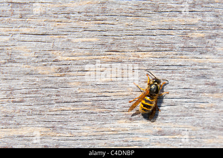 Wasp on wood - Stock Photo