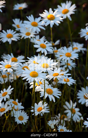 Ox-eye daisies Leucanthemum vulgare Asteraceae view of flower heads in evening light - Stock Photo