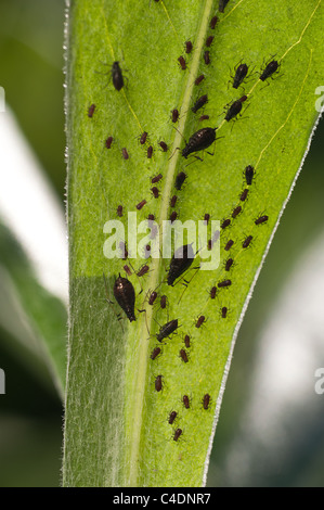 Black aphids sucking sap from plants, pest  Hemiptera - Stock Photo