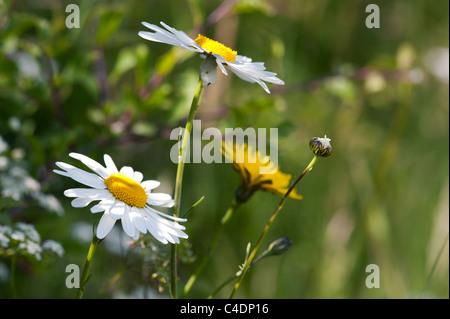 Leucanthemum vulgare. Oxeye daisy - Stock Photo