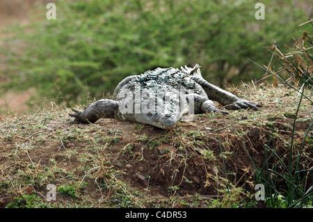 Nile Crocodile in the Tsavo West National Park, Kenya. - Stock Photo