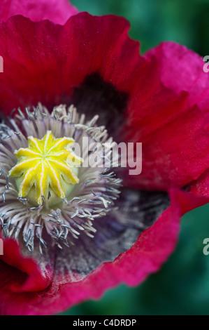 Papaver somniferum. Poppy flower. Close up on middle of poppy flower - Stock Photo