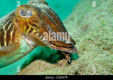 Cuttlefish (Sepia officinalis) swimming underwater facing away - Stock Photo