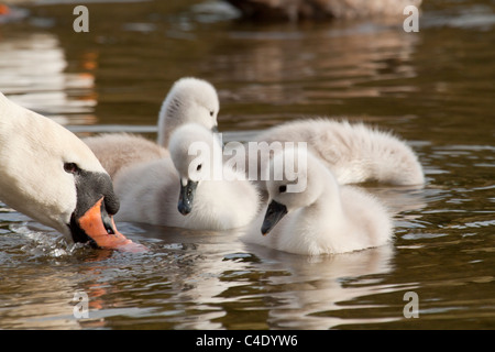 White Swan with her cygnets - Stock Photo