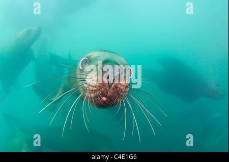 Steller's sea lion, or Steller sea lion, or northern sea lion, Eumetopias jubatus, Columbia Bay, Alaska ( Prince - Stock Photo