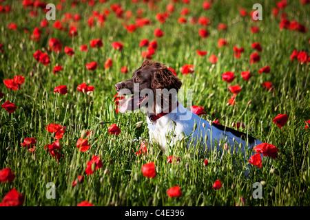 dog on the poppy field - Stock Photo