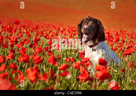 dog on poppy field - Stock Photo