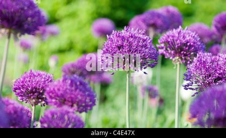 Allium hollandicum 'Purple Sensation'. Ornamental Onion flowers at RHS Wisley gardens, England - Stock Photo