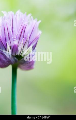 Allium schoenoprasum. Chive flower - Stock Photo