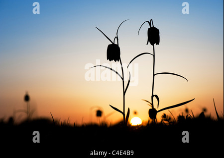 Fritillaria meleagris. Snakes head fritillary wildflowers in the English countryside at sunset. North meadow. Cricklade, - Stock Photo