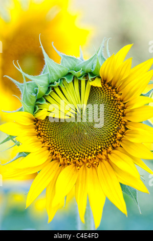 Helianthus Annuus. Sunflower petals opening in a crop in India - Stock Photo