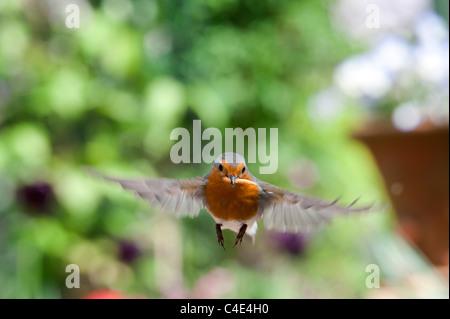Robin in flight landing with mealworms in his beak. UK - Stock Photo