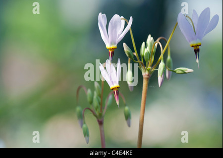 Dodecatheon pulchellum flowers. Dark-throat shooting star flowers - Stock Photo