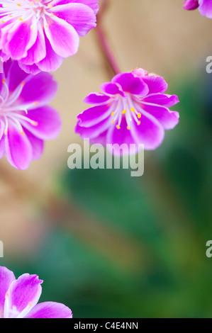 Lewisia Cotyledon Regenbogen flowers - Stock Photo