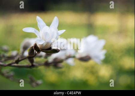 Magnolia stellata flower - Stock Photo