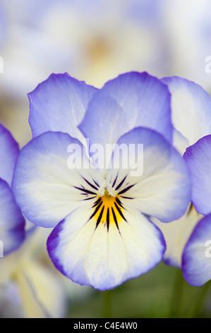 Viola Sorbet 'Coconut swirl' flowers - Stock Photo