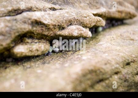 Sea Snails in the rock, Runswick Bay, East Coast Yorkshire, England - Stock Photo