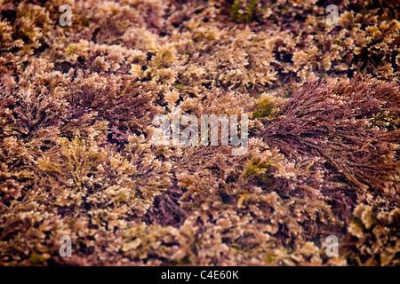 Red Seaweed in a rock pool, Runswick Bay, East Coast Yorkshire, England - Stock Photo