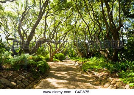 Camphor Avenue, Kirstenbosch National Botanical Gardens, Cape Town, South Africa. - Stock Photo