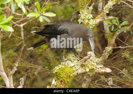 Black Currawong Strepera fuliginosa Photographed in Tasmania, Australia - Stock Photo