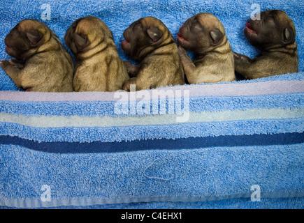 Five Newborn Pug Puppies in a Row - Stock Photo