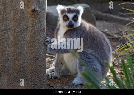 Ring-Tailed Lemur-captive.(Lemur catta) - Stock Photo
