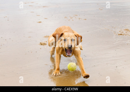 Yellow Labrador playing with ball - Stock Photo