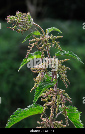 Stinging nettle / Common nettle (Urtica dioica) in flower - Stock Photo