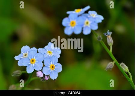 Water Forget-me-not / True Forget-me-not (Myosotis scorpioides / Myosotis palustris) in flower, Belgium - Stock Photo