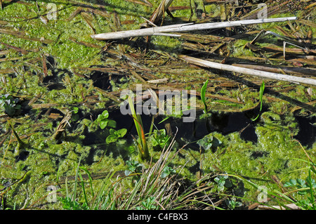 Algae growing on water in drainage ditch. - Stock Photo