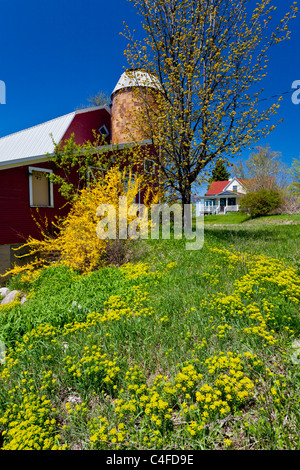 A red barn silo and farm house with blooming Forcythia bushes on the Old Mission peninsula near Traverse City, Michigan, - Stock Photo