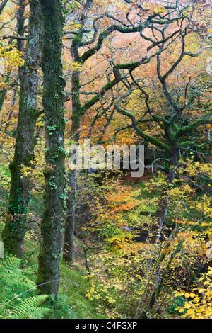 Deciduous woodland in full autumnal display, Hannicombe Wood, Dartmoor National Park, Devon, England. Autumn (November) - Stock Photo