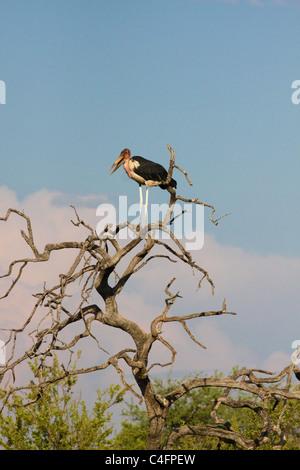 Marabou Stork (Leptoptilos crumeniferus) in a dead tree, Etosha NP, Namibia. - Stock Photo