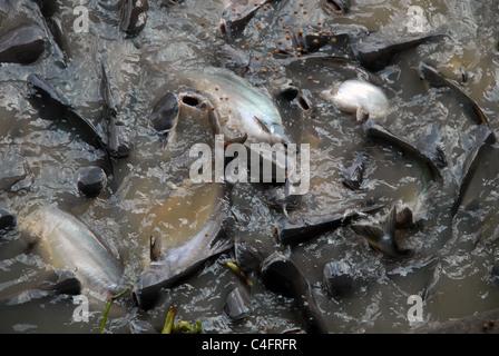 Catfish (Ictalurus melas) having a feeding frenzy in the Chao Phraya, Bangkok, Thailand. - Stock Photo