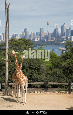 Giraffes at Taronga Zoo with the CBD in the background, Sydney, New South Wales, Australia - Stock Photo