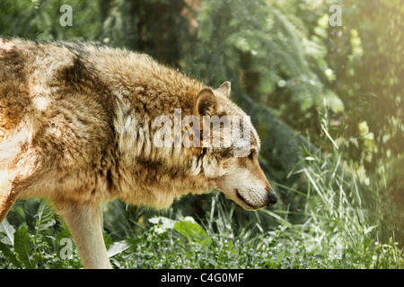 the wolf in ZOO Chomutov - Czech Republic - Stock Photo