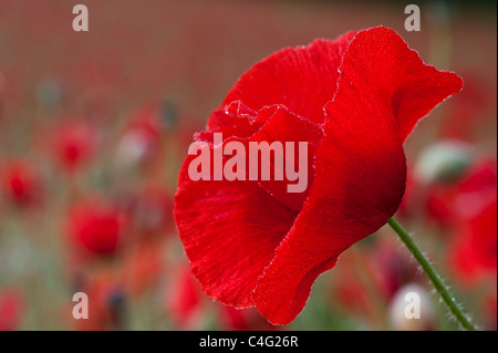 Single red poppy in a field of wild poppies - Stock Photo