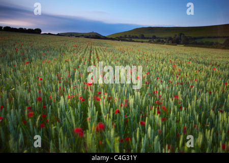 poppies blowing in the breeze on a summer's evening, Corton Denham, Somerset, England, UK - Stock Photo